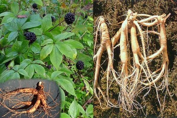 pregătirea pe bază de plante pentru a îmbunătăți erecția)