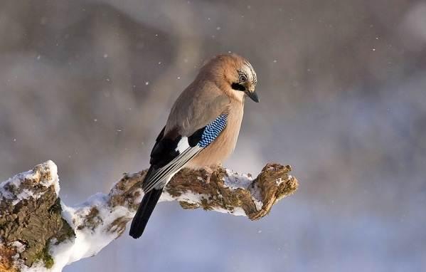 Зимующие-птицы-Названия-описания-и-особенности-зимующих-птиц-24