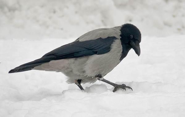 Зимующие-птицы-Названия-описания-и-особенности-зимующих-птиц-34