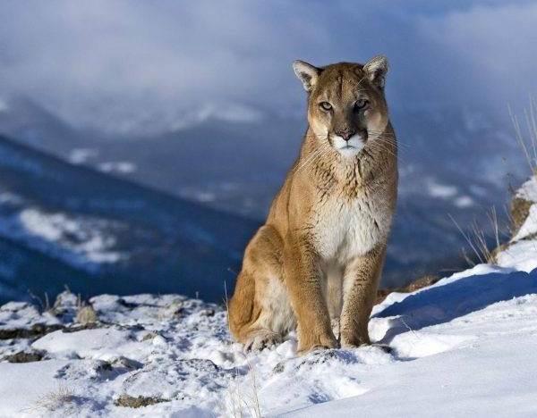 cougar lov za upoznavanje povijest datira iz dana