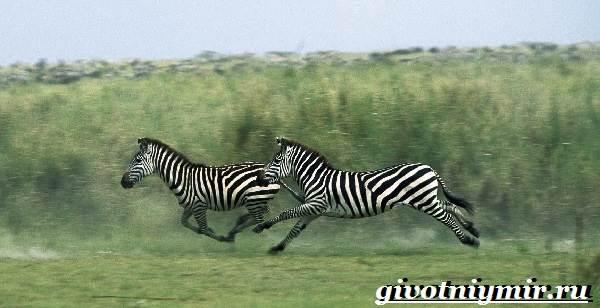 Zebres se datoreaza site- ului)