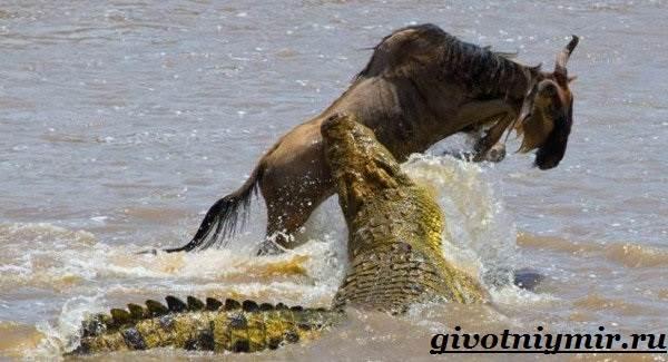 تمساح-الحيوانات-نمط الحياة - والبيئة - موئل التمساح -5