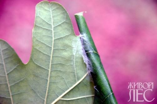 Дубовая зеленая листовертка