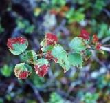 Галлы растительноядных клещей на листьях