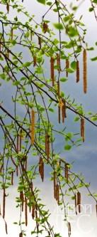 Цветение березы