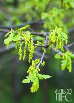 Цветение черешчатого дуба