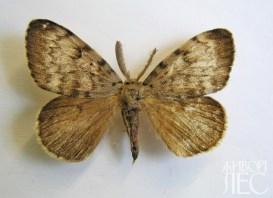 Бабочки непарного шелкопряда, самец