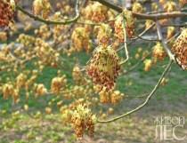 Клен ясенелистный, цветение