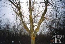 Раны на стволе и ветвях пораженного дерева