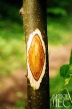 Рана на стволе пораженного дерева