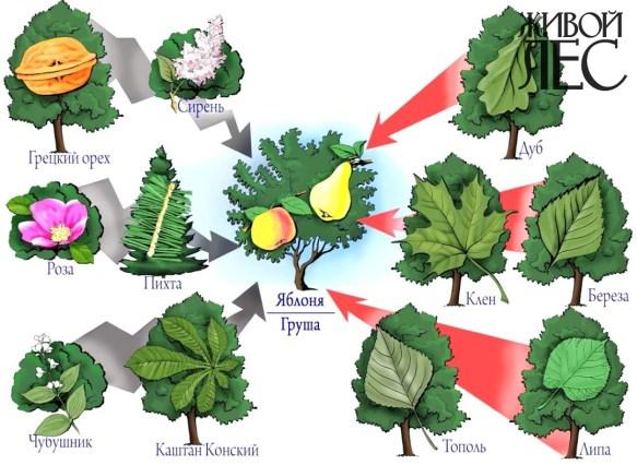 Влияние на грушу и яблоню других пород: красные стрелки - положительное, серые - отрицательное
