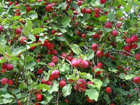 Яблоня сливолистная, или китайская