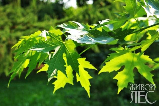 широколиственные деревья