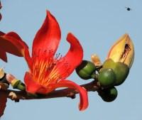 Цветок сейбы
