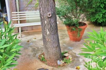 Такого рода 100% закрытие бетоном корневой системы дерева зачастую приводит к его гибели.