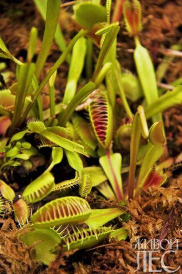 растения-хищники