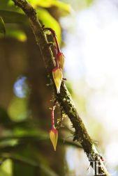 Каулифлория их деревьев нижнего яруса