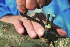 прививка древесных