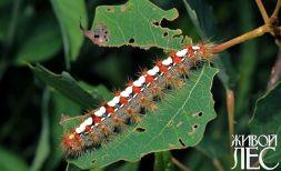 Leucoma salicis - Волнянка ивовая