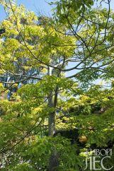 Горизонтальное расположение ветвей у молодой хоризии великолепной