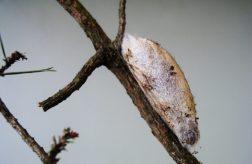 Кокон соснового коконопряда на побеге