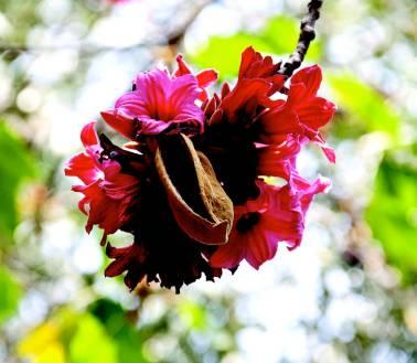 Соцветия и плоды брахихитона Бидвилла