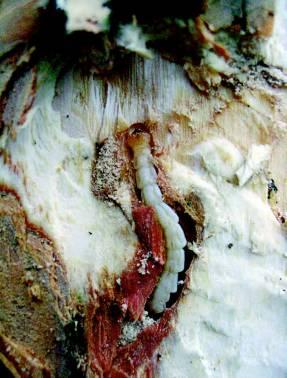 Личинка златки в личиночном ходе