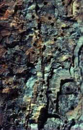 сосновые лубоеды