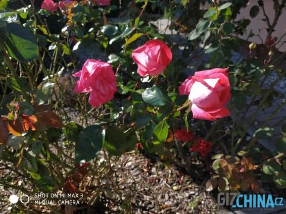Růže mají přepálená místa