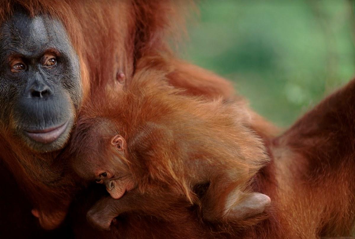 Orangutan - WWF Indonesia