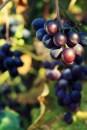 Herbst fetzt - Trauben