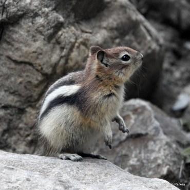 golden-mantle-squirrel-073