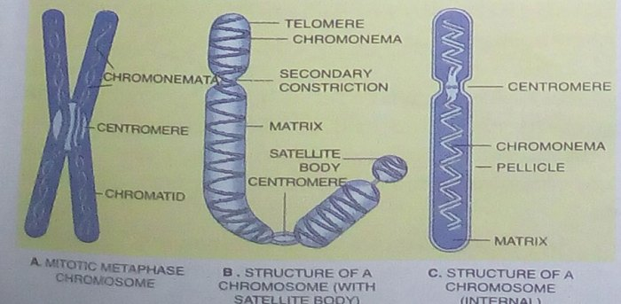 Chromosome GK Notes