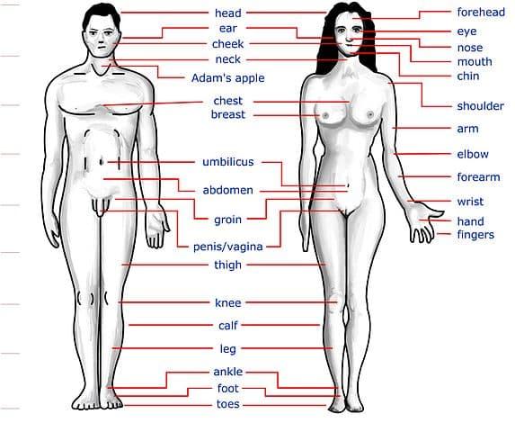 मानव शरीर के बाहरी अंग - External body parts in Hindi