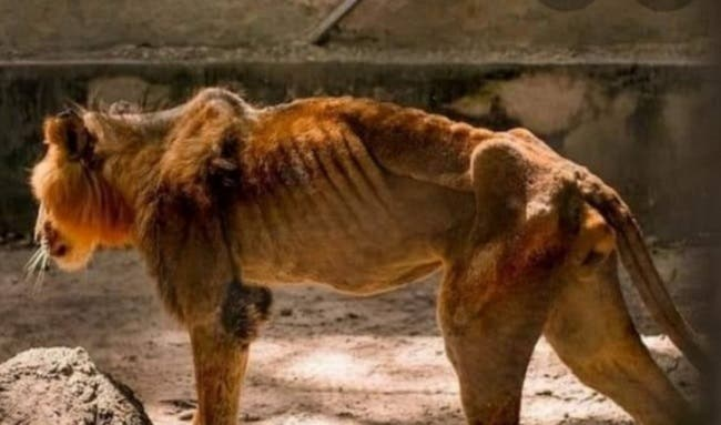 THIS IS SAD!! Starved Lion In Kaduna Zoo Has Died (PICTURED) 1