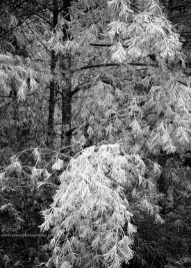 """""""Iced Needles"""", Canon 5DS R, 70-200mm f/2.8L Mk2, 2X Teleconverter, No Filters, Converted to B&W in Lightroom"""