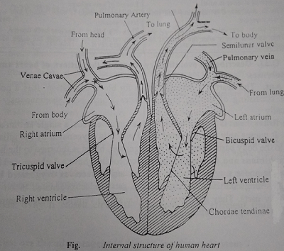 structure of human heart - Human Heart