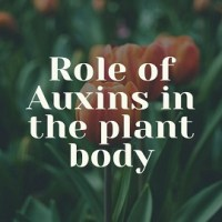 What Are Plant Auxins? Discuss the role of Auxins (IAA) in the plant body?