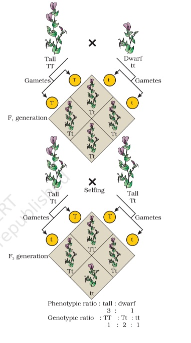monohybrid cross - Mendelism or Mendel's Principles of Inheritance