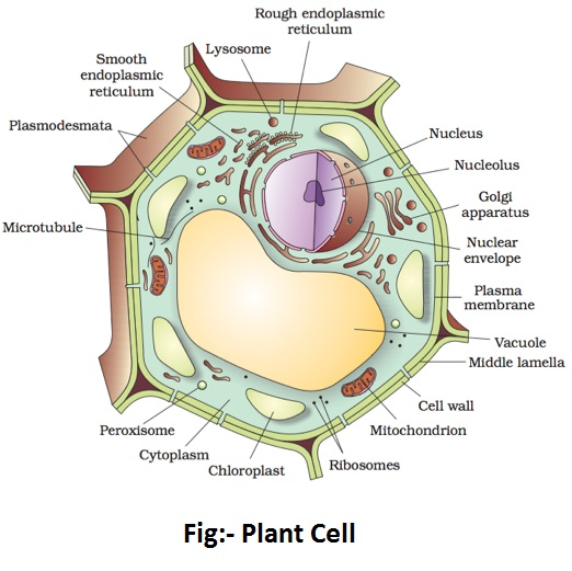 plant cell diagram - Plant and Animal Cell