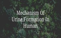 Mechanism Of Urine Formation In Human