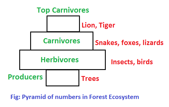 pyramid of numbers in forest ecosystem - Ecological Pyramids