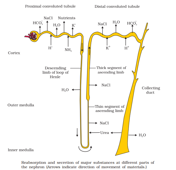 tubular secertions - Mechanism Of Urine Formation In Human