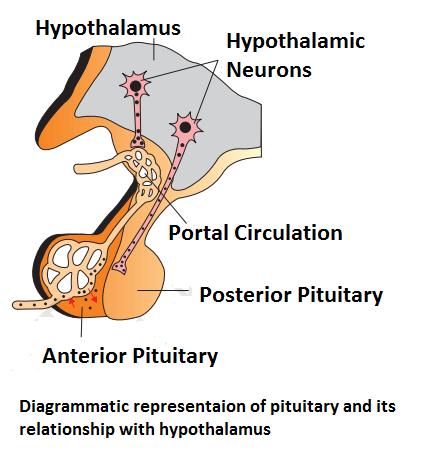neurosecretory cells of hypothalamus - Neurohormones