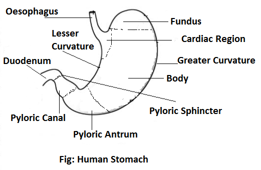 Human stomach - Alimentary Canal of Man