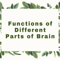 Functions of Different Parts of Brain