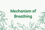 Mechanism of Breathing or Pulmonary Respiration