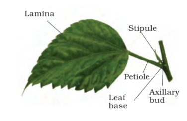 structure of a leaf - Leaf Structure and Functions