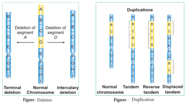 deletion and duplication - Mutation due to Changes in Structure of Chromosome