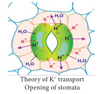 theory of potassium transport opening of stomata - Mechanism of Stomatal Movement